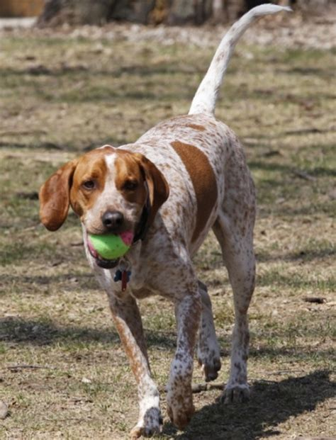 hound dogs breeds pin breed groups at this on