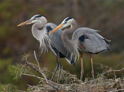 Great Blue Heron Male Vs Female Blue Heron Nh 2