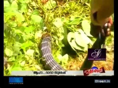 download film ular india king cobra makan ular rusuk kerbau vidoemo emotional