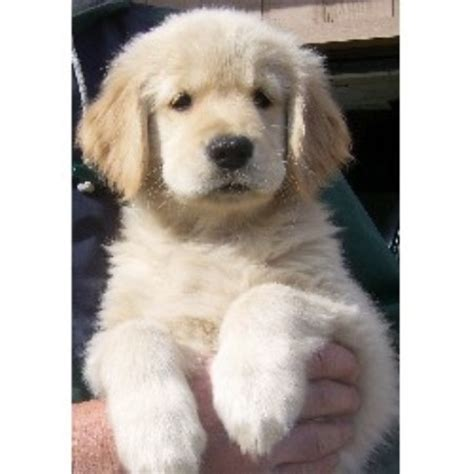 indiana golden retriever breeders 24k goldens golden retriever breeder in crown point indiana