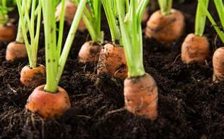 Root Vegetable Picture Guide - the 12 best vegetable crops to grow in containers david domoney