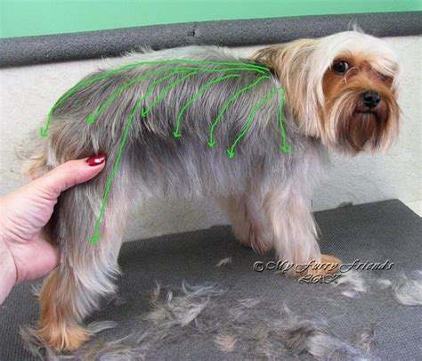do yorkies have thick hair or then hair pet grooming the good the bad the furry scissoring a