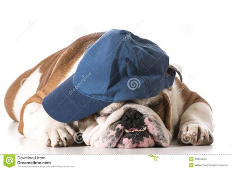 dogs baseball wearing baseball cap stock photo image 43950604