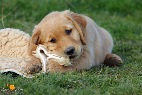 golden retriever that stays a puppy golden retriever puppy by kirikina on deviantart
