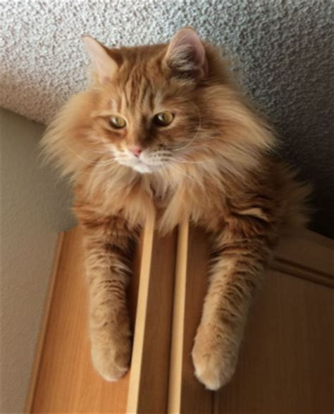Twinie Cats 6 things you didn t about orange tabby cats meowingtons