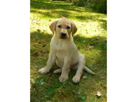yellow lab puppies for sale in nc labrador retriever puppies for sale