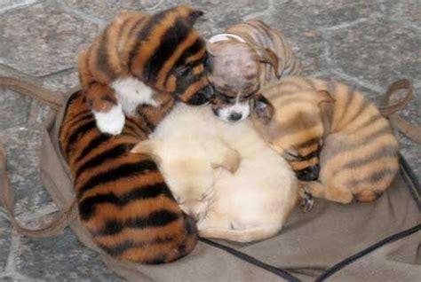 Jo In Pet Liangdian Xl czy tak wygl艱daj艱 psy chi蜆skiej rasy quot tygrysiej quot niestety