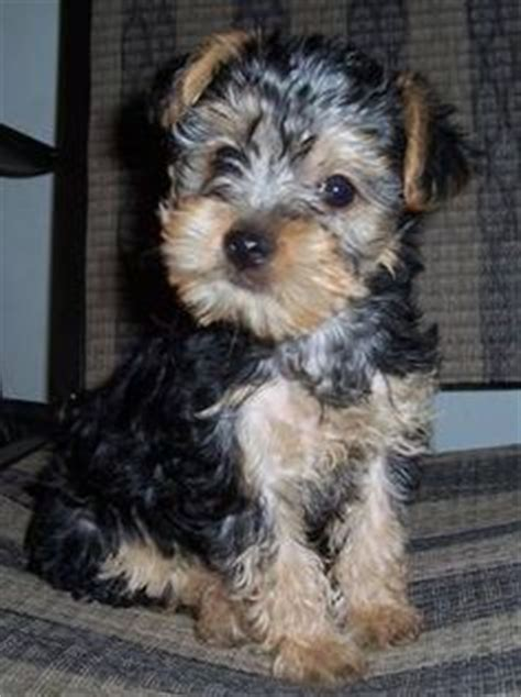what do yorkie poos look like everyone needs a yorkie poo like my obi for the home
