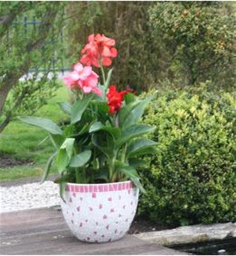 canna indica in vaso fiorista mariangela piante in vaso