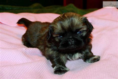 free puppies canton ohio pekingese puppies for sale in ohio breeds picture