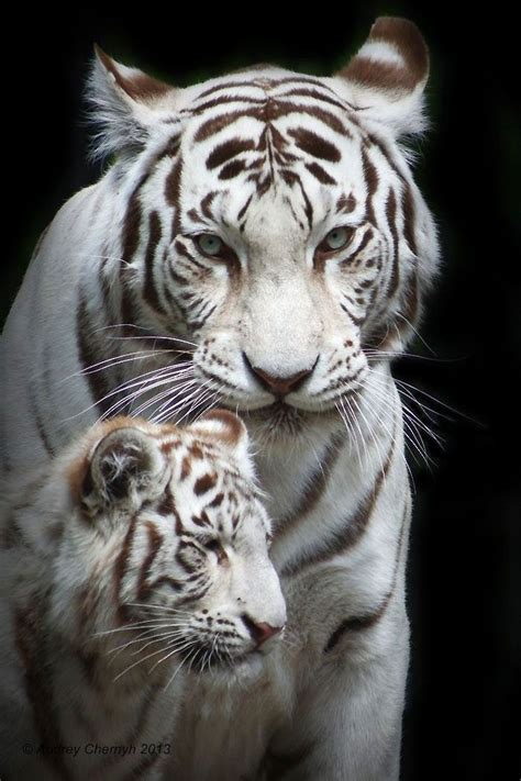 white tiger pictures blue eyed white tiger cub animals wildlife