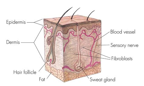 diagram of skin cell the integumentary system lesson 0384 tqa explorer
