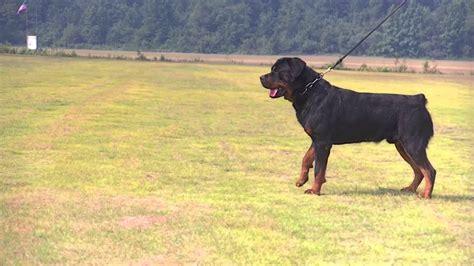 rottweiler schutzhund sam sederhaus rottweiler stud for schutzhund and conformation 3