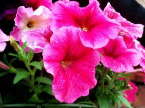 growing petunias tips for petunia care