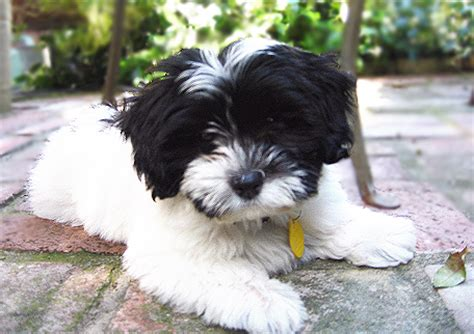 havanese pictures black and white havanese puppy www pixshark images galleries with a bite