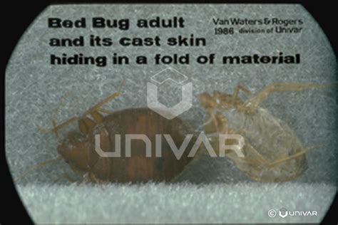 how common are bed bugs pestweb the common bed bug
