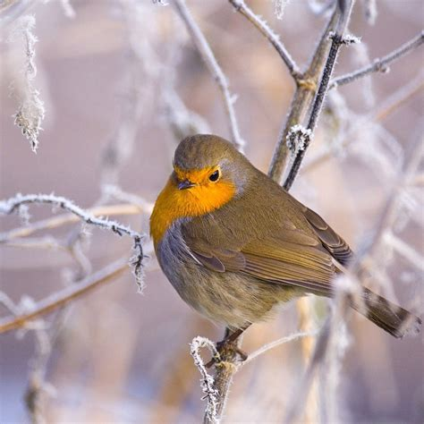 beautiful birds in winter wallpapers cini clips