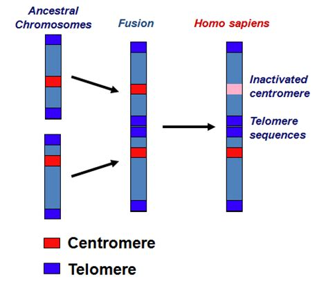 How does a species with x number of chromosomes evolve to ... Y Chromosome Number
