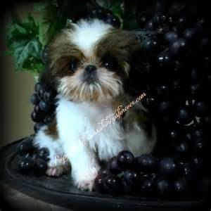 cool shih tzu names imperial shih tzu puppies imperial shih tzu puppies for sale pets