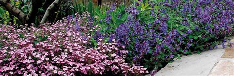piante tappezzanti fiorite le piante tappezzanti fioriscono nelle zone difficili
