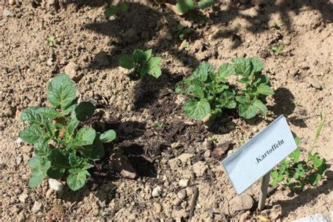 kartoffel pflanzen wann kartoffel pflanzen kartoffeln anbauen einfach besser