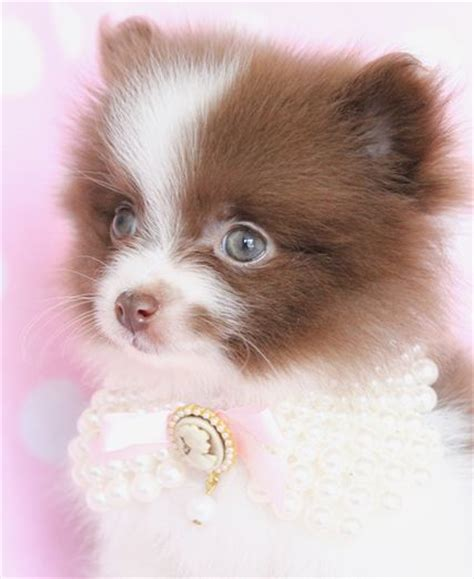 pomeranian pet store 25 best cutest puppy ideas on yorkie real and puppies