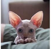 Sphynx Cat  The Hairless Lovable And Adorable Feline I
