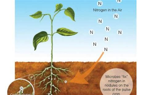 nitrogen fixing plants microbes permaculture magazine