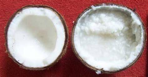 Bibit Kelapa Kopyor Kultur Jaringan produksi bibit kelapa kopyor dengan kultur embrio