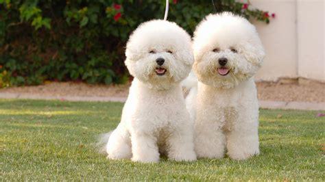 non allergic dogs 10 new non allergenic breeds