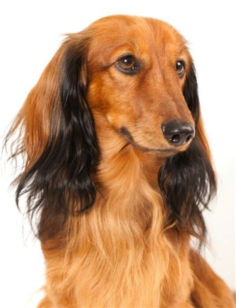 Haired Dachshund Shedding by Grooming Haired Dachshunds Thriftyfun