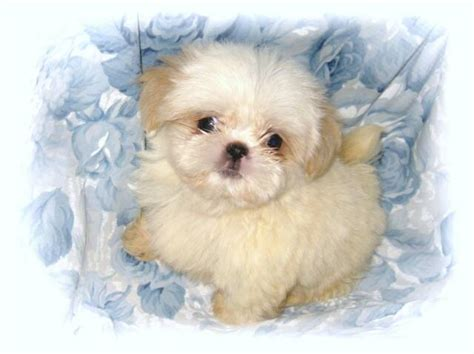 sweet and sassy shih tzu home page www sweetnsassyshihtzues