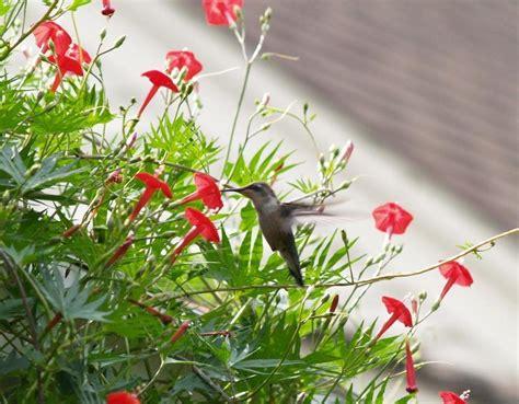 hummingbird vine cardinal climber cypress vine 100 seeds