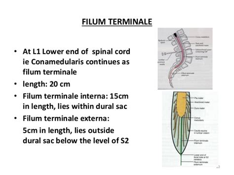 section filum terminale spinal cord 2