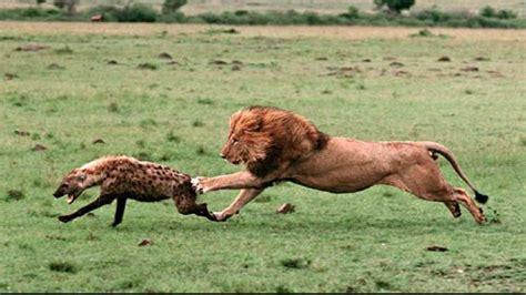 animals fighting wild animals fighting www pixshark com images
