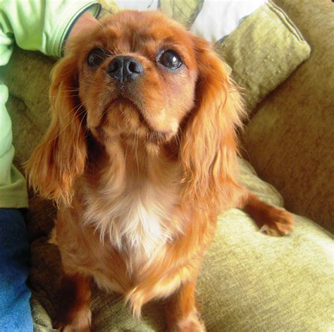 ruby cavalier king charles spaniel puppies for sale lovely solid ruby kc cavalier king charles spaniel bungay suffolk pets4homes