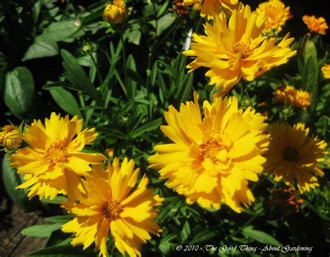 perennial shrub with yellow flowers coreopsisthe thing about gardening crafting the