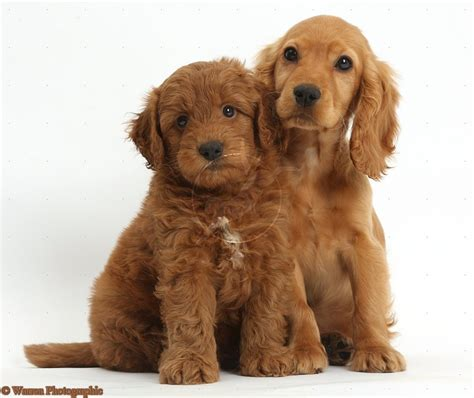 free cocker spaniel puppies 17 best ideas about cockapoo on cockapoo