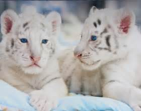 all funny cute cool and amazing animals cute white tigers images and