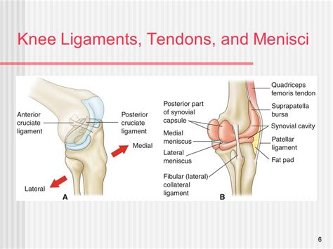 muscles ligaments and tendons of the knee lateral view michigan
