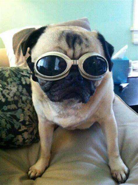 pug eclipse doggles i pugs
