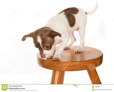 Puppies With Stool by Puppy On A Stool Stock Photography Image 13090532