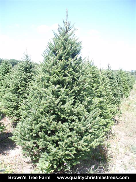 buy a real christmas tree