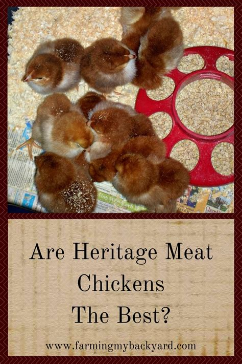 my backyard chicken are heritage chickens the best farming my backyard