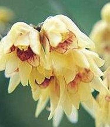 fiori profumati invernali fiori invernali speciali fiori invernali specie