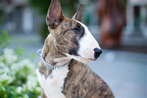 Kitchen Design Interior Decorating by Bull Terrier Dog Breed Profile
