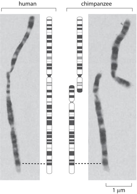 banding pattern definition biology 187 how many chromosomes are found in different organisms