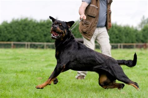 rottweiler dangerous dogs list is your on spain s dangerous dogs list 193 baco advisers