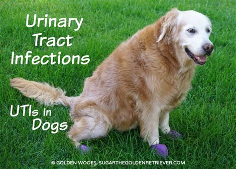 puppy urinary tract infection urinary tract infections utis in dogs golden woofs