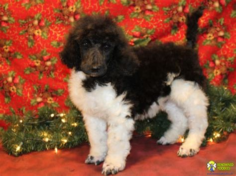 parti poodle lifespan parti poodle puppies ontario photo